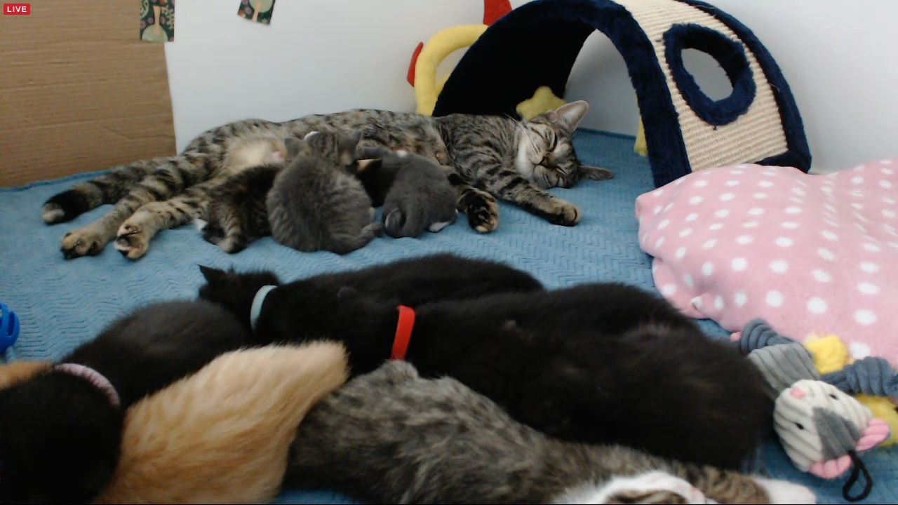 9 kittens sleeping with Tip at 04:30 kitten time on 2015-08-27 on VIP cam
