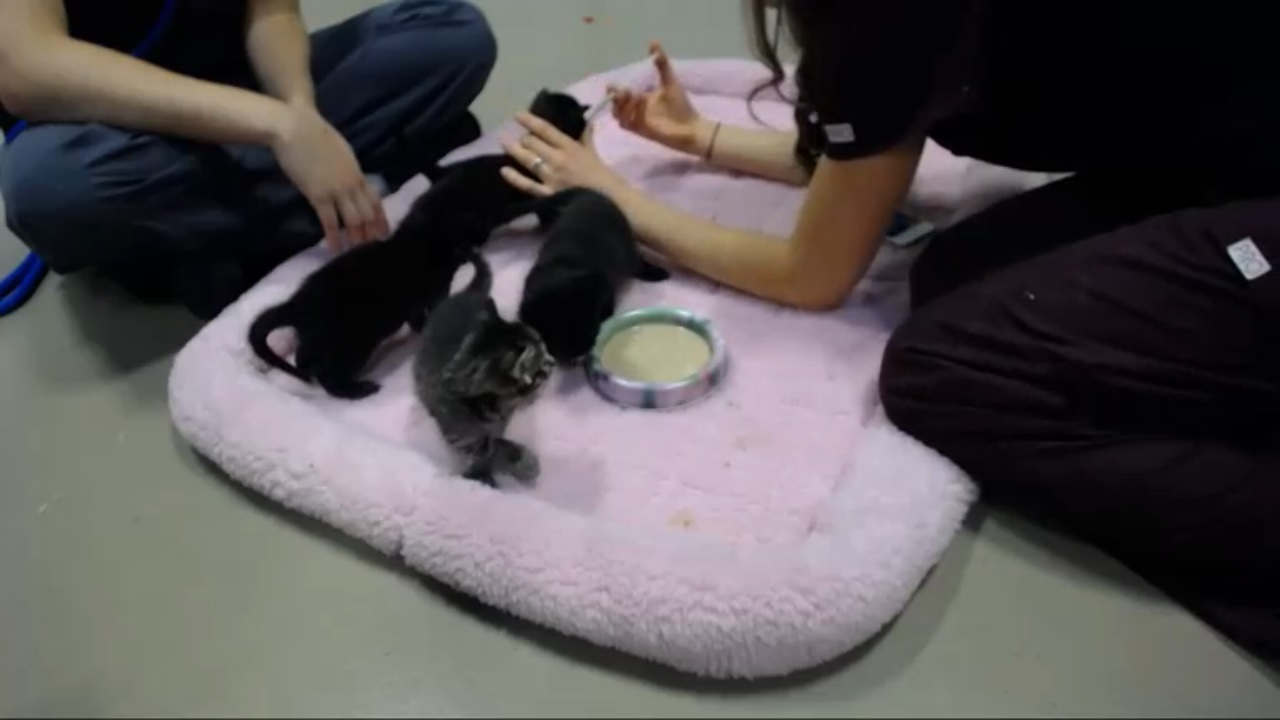 Rose's kittens food intro 2015-08-25