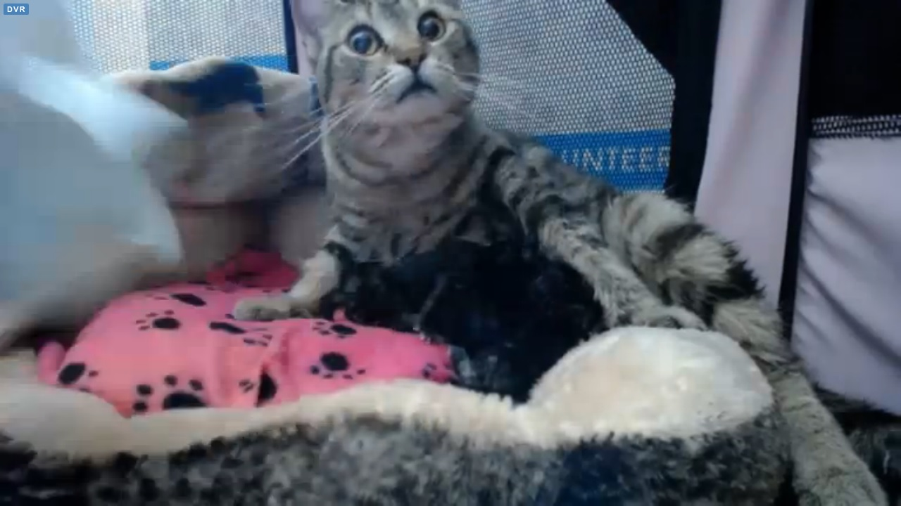 Pregnant mama cat in labour at LAPS early afternoon 2015-09-16