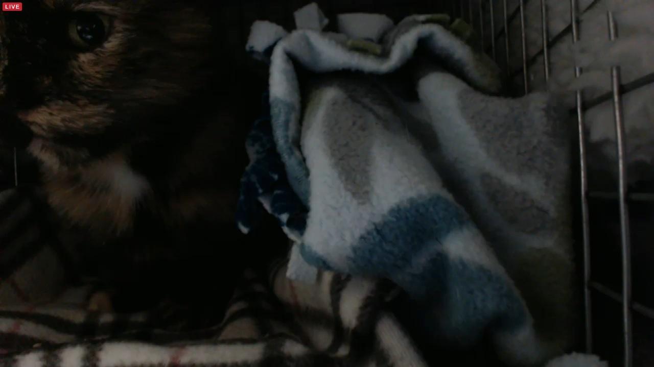 Sisko eating magic tuna pre spay 2015-09-03