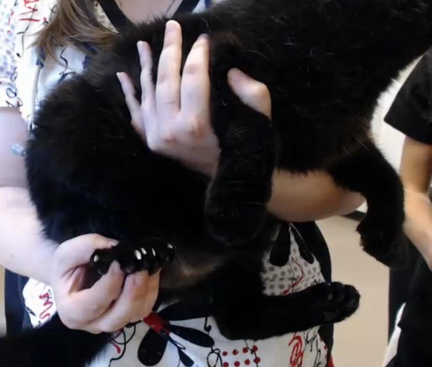 Douglas polydactyl cat intake 2015-10-21