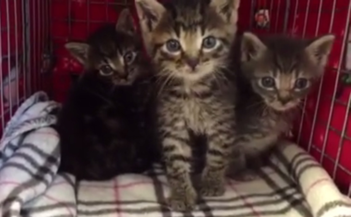Four new feral kittens brought in to LAPS around 15:00 2015-10-08