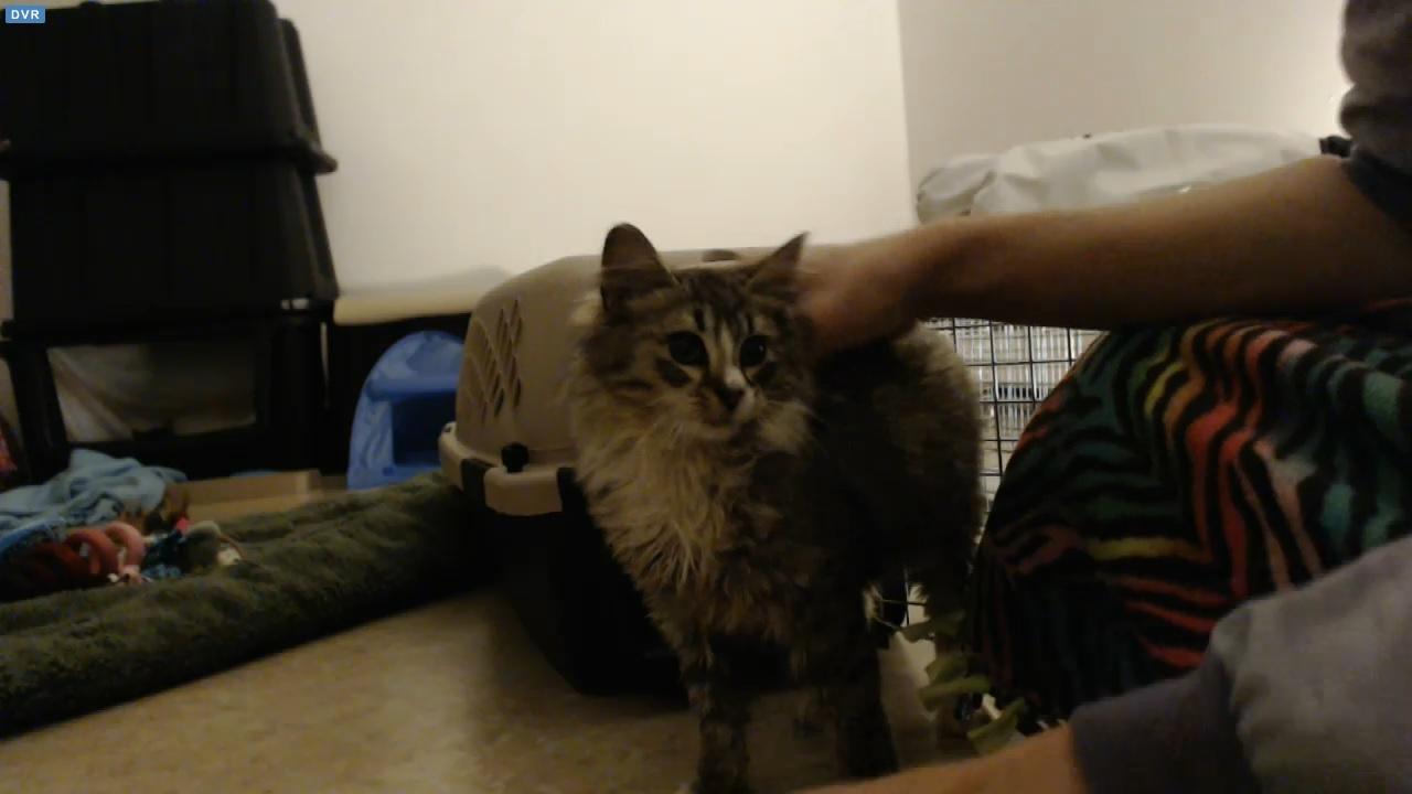 Totally ferocious feral male kitten 2015-11-29