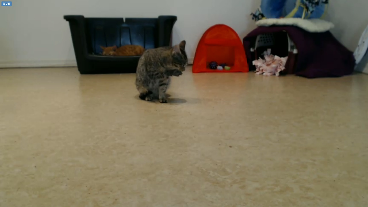 Holly cleans her paw 2015-12-12