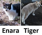 ferals currently recuperating at TKHQ 2016-02-18 - Enara and Tiger