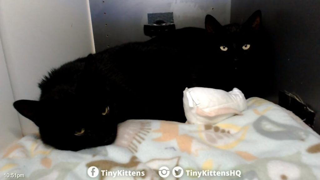 New panther boys trapped for TNR 2018-11-10