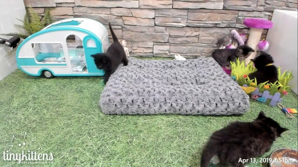 Flower Kittens glamping in Shelly's living room just after coming in 2019-04-13